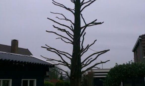 Kandelaberen Metasequoia (moerascipres)